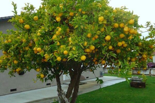conoce todo acerca del limonero