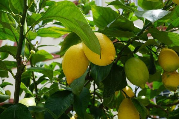 poda del limonero